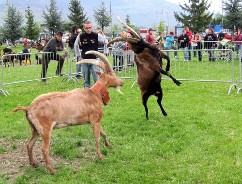 jumping goat 1