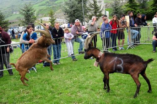 jumping goat 3