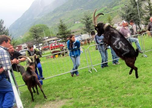 jumping goat 4